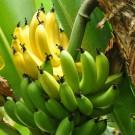 Banana Plantains