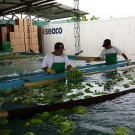 Washing of fresh green bananas